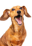 Dachshund dog yelling Royalty Free Stock Photography