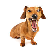 Dachshund dog yelling Stock Images