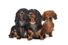 Dachshund dogs Royalty Free Stock Photo