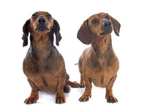 Dachshund dogs Stock Image