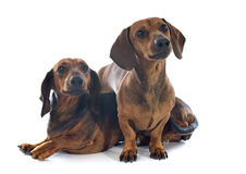 Dachshund dogs Stock Photo