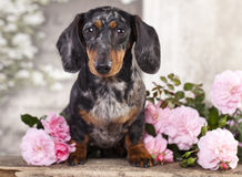 Dachshund dogs and pink  flowers Stock Photos