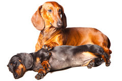 Dachshund Dogs posing on isolated white background Stock Photo