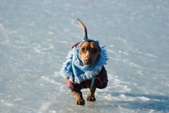 Dachshund in dress Stock Image