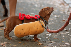 Dachshund Dressed In Hot Dog Costume For Halloween Stock Photos