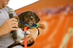 Dachshund Dressed Like Baby Wearing Diaper At Festival Royalty Free Stock Image