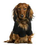 Dachshund dressed and sitting Stock Photos