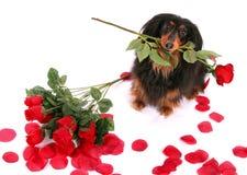 Dachshund e rosas Imagem de Stock Royalty Free