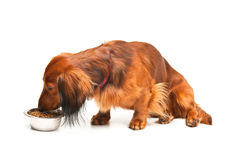 Dachshund eating Stock Image