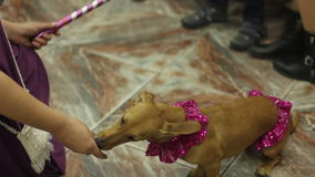 Dachshund eating dainty from hand trainer. Dog show at birthday party stock video