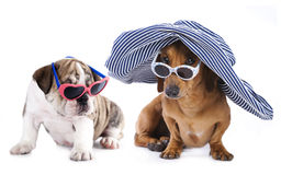 Dachshund and english bulldog puppy Royalty Free Stock Image