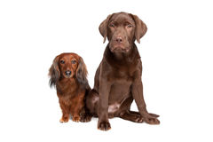Dachshund et un chiot de Labrador de chocolat Photo stock