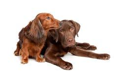 Dachshund et un chiot de Labrador de chocolat Photographie stock