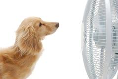 Dachshund et ventilateur Image stock