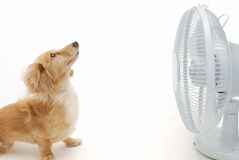Dachshund et ventilateur Image libre de droits
