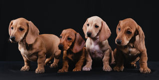 Dachshund Family Royalty Free Stock Photos