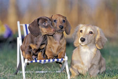 Dachshund family royalty free stock photography