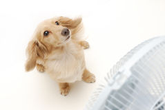 Dachshund and fan Royalty Free Stock Images