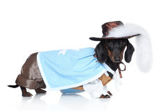 Dachshund in fashionable clothes Royalty Free Stock Photos