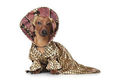 Dachshund in fashionable clothes Stock Images