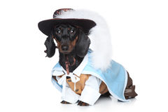 Dachshund in fashionable clothes Stock Photography