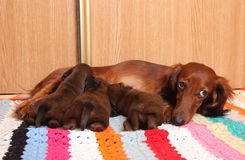Dachshund feeding puppies. Sad Long-haired mini Dachshund feeding puppies Stock Photo