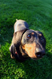 Dachshund fisheye. A dachshund on green grass, taken with a fisheye lens to get that big head, little body effect royalty free stock images
