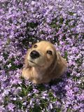 Dachshund in flowers. stock photography