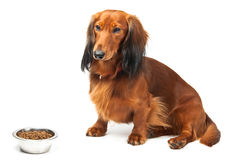 Dachshund and food Stock Photos
