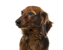 Dachshund in front of a white background Royalty Free Stock Image