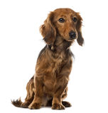 Dachshund in front of white background Stock Photos