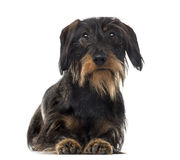 Dachshund in front of a white background Stock Photo
