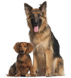 Dachshund and German Shepherd Dog. Dachshund, 8 years old, and German Shepherd Dog, 2 and a half years old, sitting in front of white background Stock Photography