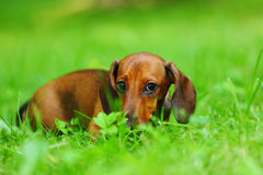 Dachshund on grass Stock Photos