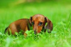 Dachshund on grass Stock Photos