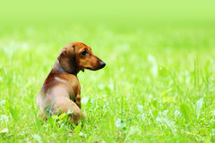 Dachshund on grass Royalty Free Stock Image
