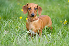 Dachshund on the grass Royalty Free Stock Images