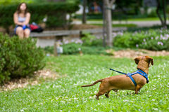 Dachshund in the grass on a long leash Stock Photos