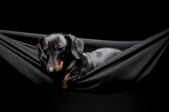Dachshund  in a hammock Royalty Free Stock Photos