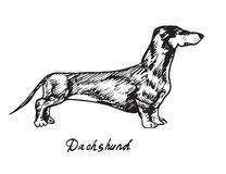 Dachshund. Hand drawn doodle, sketch in pop art style, vector, Dachshund Stock Image