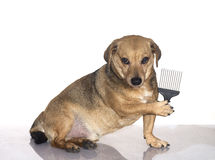 Dachshund happy. A dachshund happy to be brushed Stock Images
