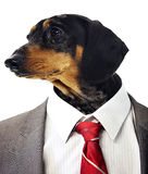 Dachshund head on businessman's body  Stock Image