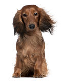 Dachshund with his hair in the wind. 2 years old, sitting in front of white background stock photography