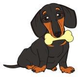 Dachshund hold a bone. Cute black dachshund sit and keep on his mouth a tasty bone Stock Photos