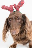 Dachshund With Holiday Antlers Royalty Free Stock Photos
