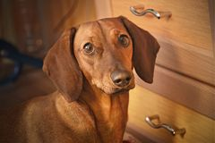 Dachshund at home Royalty Free Stock Photos