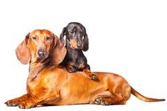 Dachshund-Hunde, die auf getrenntem weißem Hintergrund aufwerfen stockfotografie