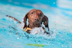 Dachshund-Hunde-Ergreifungsspielzeug im Wasser Stockbilder