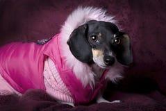 Dachshund im rosafarbenen Mantel Stockfotos