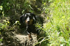 Dachshund im Waldhund stockbilder